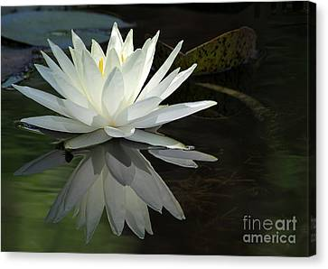 White Water Lily Reflections Canvas Print by Sabrina L Ryan
