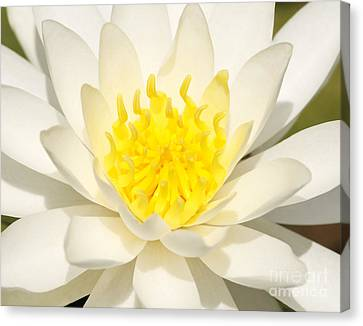 Canvas Print featuring the photograph White Waterlily by Olivia Hardwicke