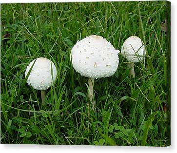 Canvas Print featuring the photograph White Wild Mushrooms by Dorothy Maier