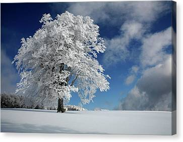 White Windbuche In Black Forest Canvas Print by Franz Schumacher