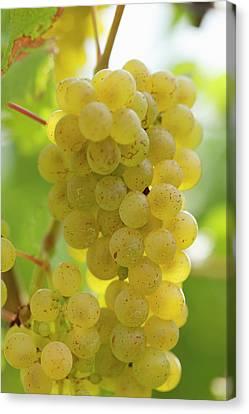 White Wine Grapes On The Vine Canvas Print