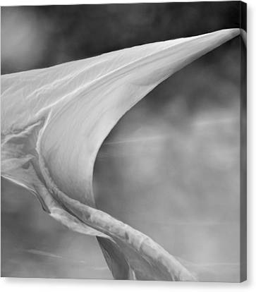 White Wing 2 Canvas Print by Laura Fasulo