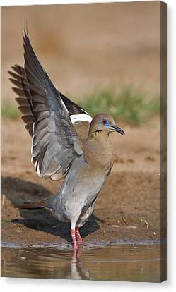 White-winged Dove (zenaida Asiatica Canvas Print