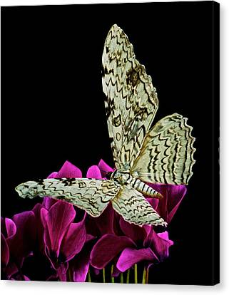White Witch Moth Resting At Midnight  Canvas Print by Leslie Crotty