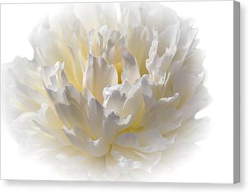 White Peony With A Dash Of Yellow Canvas Print