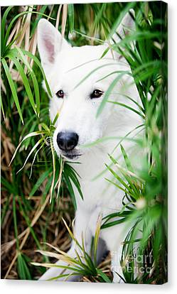 Canvas Print featuring the photograph White Wolf by Erika Weber