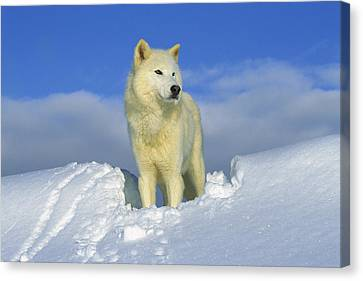 White Wolf In The Snow Idaho Canvas Print by Tom Vezo