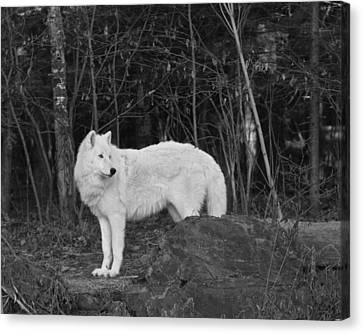 White Wolf Canvas Print by Kate Purdy