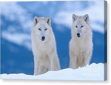 White Wolf Pair In Winter Canvas Print by Alan and Sandy Carey
