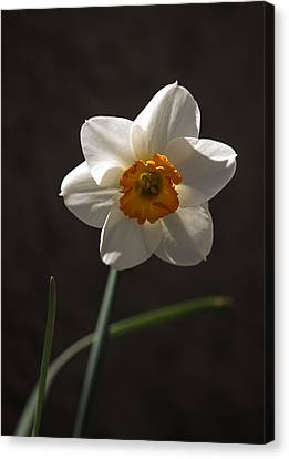 White Yellow Daffodil Canvas Print