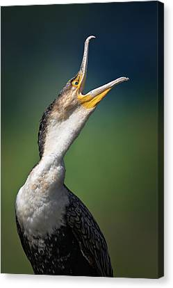 Whitebreasted Cormorant Canvas Print by Johan Swanepoel
