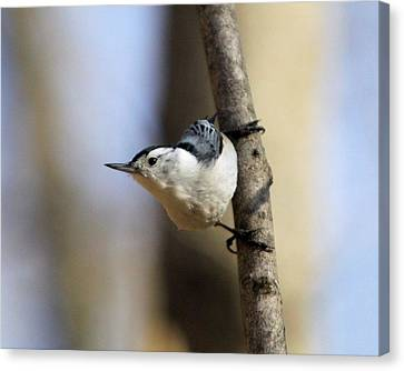 Whitebreasted Nuthatch Canvas Print