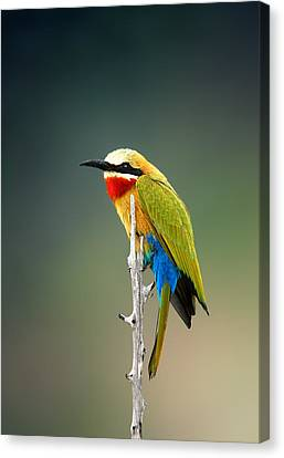 Whitefronted Bee-eater Canvas Print by Johan Swanepoel
