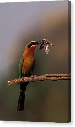 Whitefronted Bee-eater With Butterfly Canvas Print by Nigel Dennis