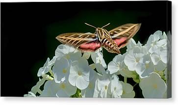 Whitelined Sphinx Moth - Hawk-moth - Hummingbird Moth Canvas Print by Nikolyn McDonald