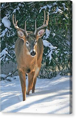 Whitetail Deer Eight Point Canvas Print