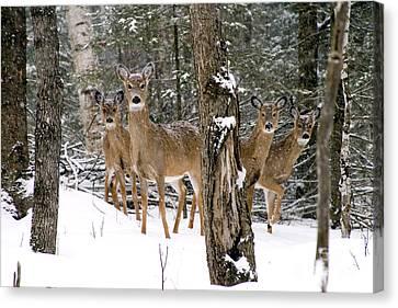 Whitetail Deer Odocoileus Virginianus Canvas Print by Gregory K Scott