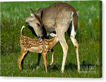 Whitetail Deer With Fawn Canvas Print by Mark Newman