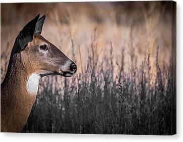 Fountain Creek Nature Center Canvas Print - Whitetail Doe Keeping Watch 2 by Ernie Echols