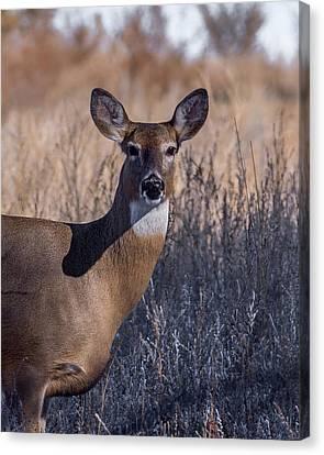 Fountain Creek Nature Center Canvas Print - Whitetail Doe Keeping Watch by Ernie Echols