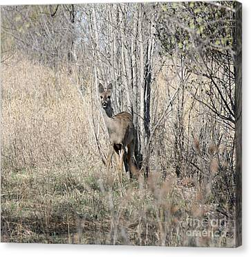 Whitetail Undercover Canvas Print by Lori Tordsen