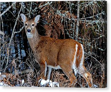 Whitetail Wonder Canvas Print by Annie Pflueger