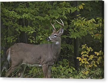 Whitetall Deer Canvas Print by Rhys Templar