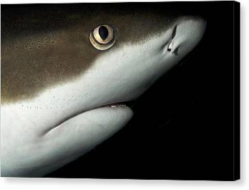 Whitetip Reef Shark Canvas Print by Nigel Downer