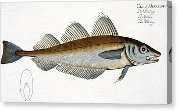 Whiting Canvas Print by Andreas Ludwig Kruger