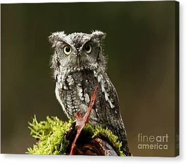Shelley Myke Canvas Print - Whooo Goes There... Eastern Screech Owl  by Inspired Nature Photography Fine Art Photography