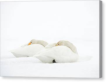 Whooper Swans Resting On Snow Canvas Print by Dr P. Marazzi