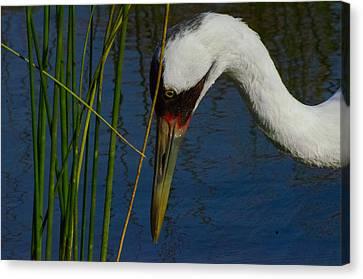 Whooping Crane Canvas Print by David Tennis