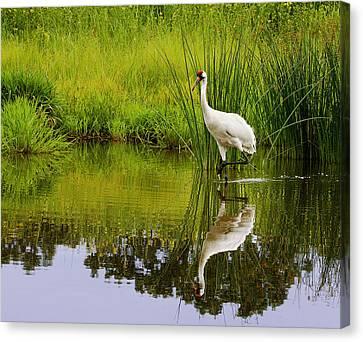 Barbara Smith Canvas Print - Whooping Crane I by Barbara Smith