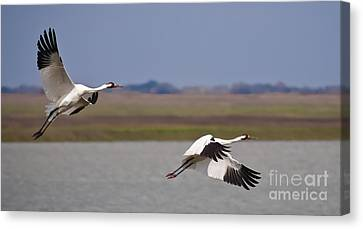 Whooping Crane Pair Canvas Print