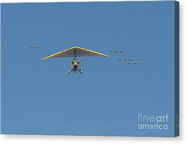 Whooping Cranes And Operation Migration Ultralight Canvas Print by Paul Rebmann