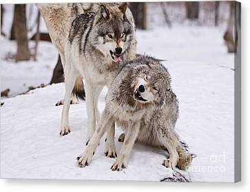 Canvas Print featuring the photograph Who's The Boss by Wolves Only