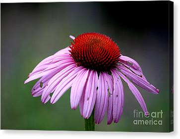 Plant Canvas Print - Wickham Park Coneflower  by Neal Eslinger
