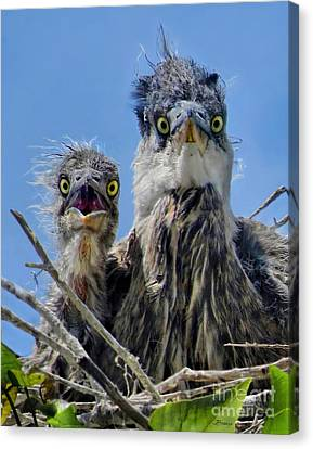 Wide Eyed Baby Herons Canvas Print by Jennie Breeze