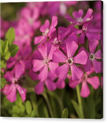 Canvas Print featuring the photograph Wild About Pink - Pink Wildflower Art Print by Jane Eleanor Nicholas