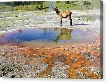 Canvas Print featuring the photograph Wild And Free In Yellowstone by Teresa Zieba