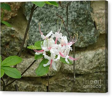 Wild Azalea Canvas Print by Katie Spicuzza