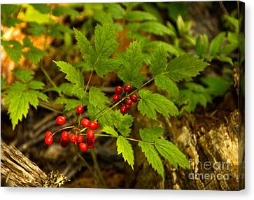 Canvas Print featuring the photograph Wild Berries by Sam Rosen