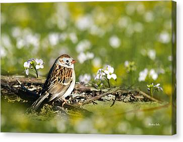 Wild Birds - Field Sparrow Canvas Print by Christina Rollo