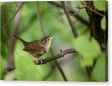 Wild Birds - House Wren Canvas Print by Christina Rollo