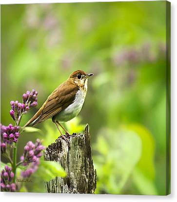 Wild Birds - Veery Square Canvas Print by Christina Rollo