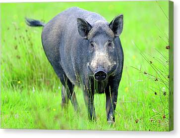 Wild Boar Canvas Print by Colin Varndell