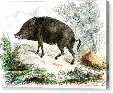 Wild Boar Canvas Print by Collection Abecasis
