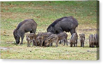 Wild Boar Sow And Piglets Canvas Print by K Jayaram