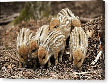 Wild Boars Piglets Canvas Print by Bildagentur-online/mcphoto-schulz