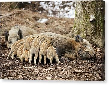 Wild Boars Suckling Canvas Print by Bildagentur-online/mcphoto-schulz